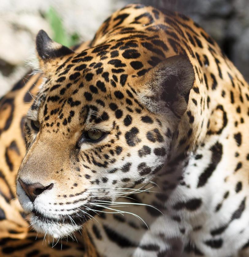 Живность Котэ Большие кошки Леопард