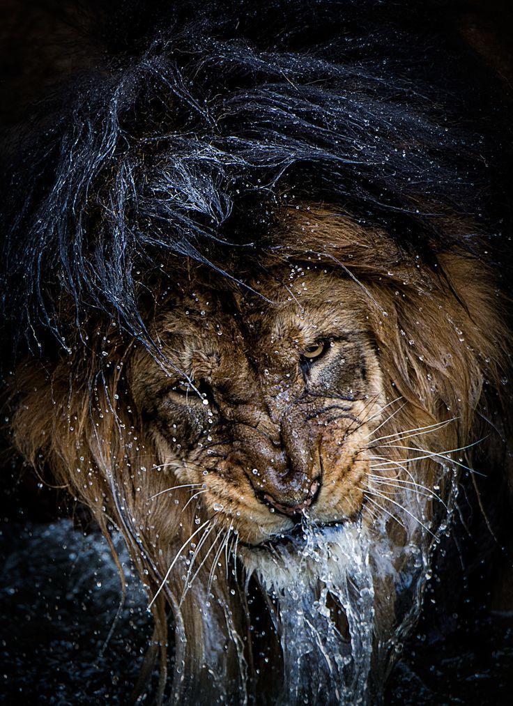 Красивые картинки Живность Котэ Лев