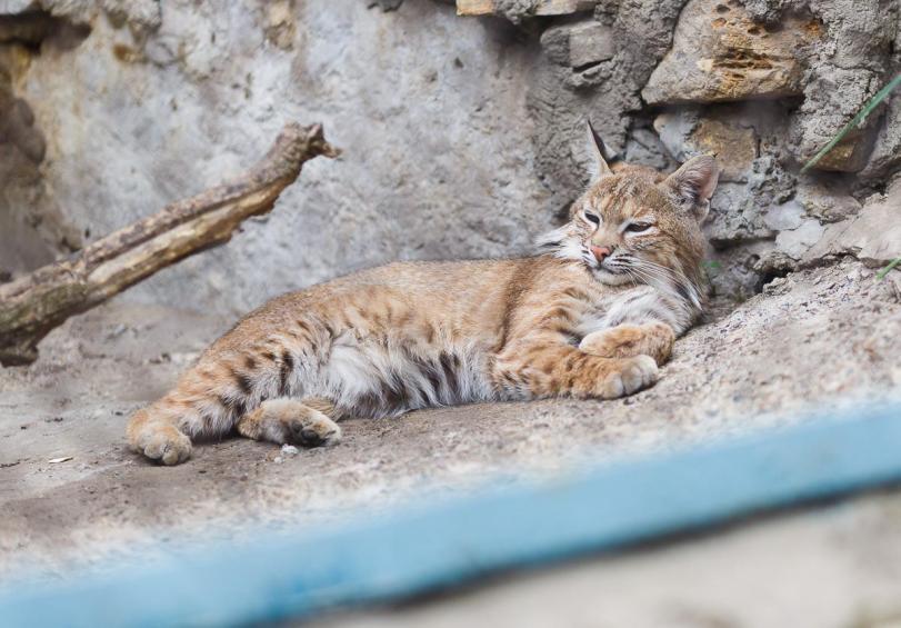 Красивые картинки Живность Котэ Большие кошки Рысь