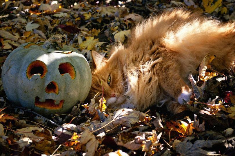 Красивые картинки Котэ кот Хэллоуин