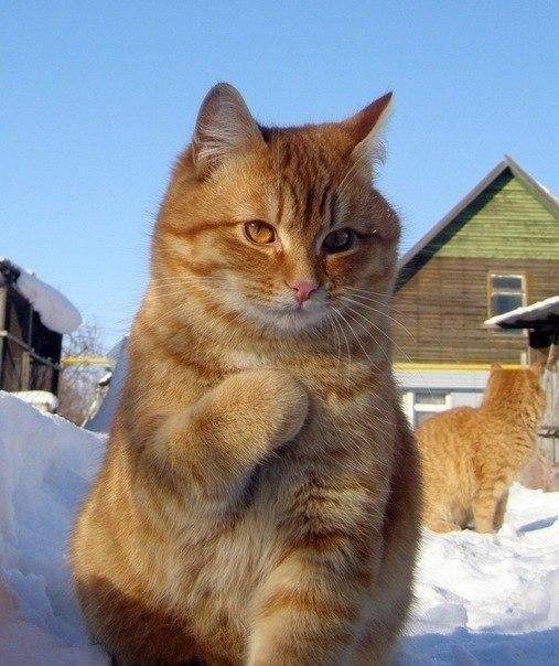 Красивые картинки Котэ Милота Рыжий кот