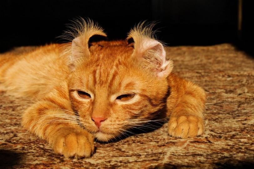 Котэ Милота Рыжий кот