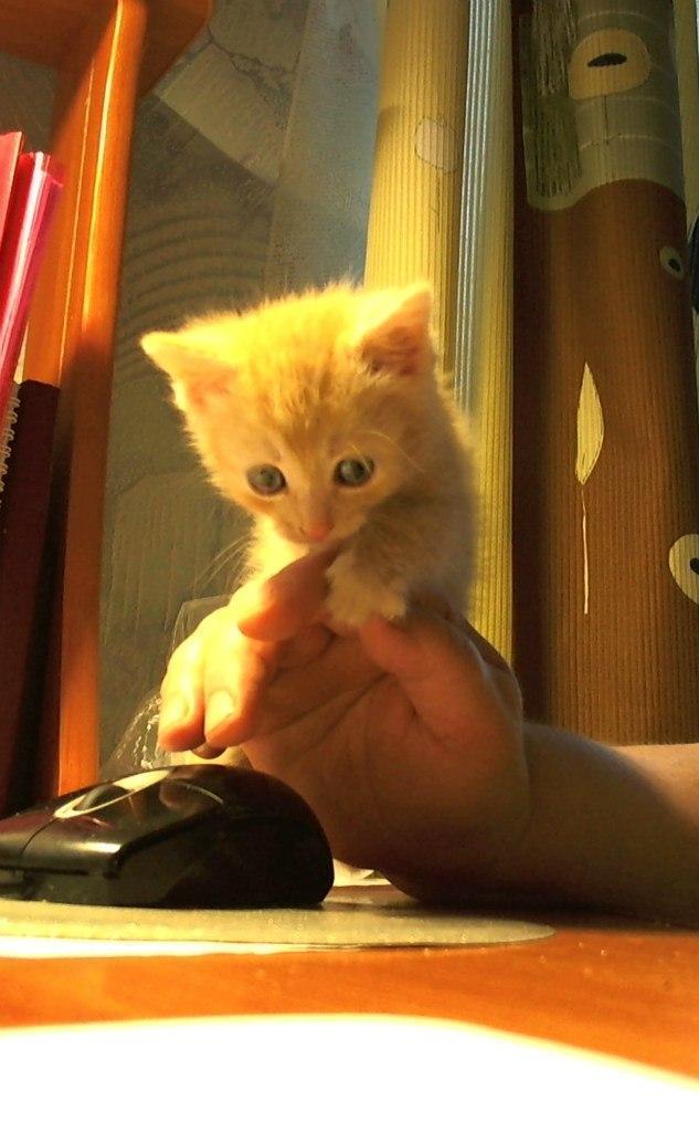 Котэ кот Милота Рыжий кот Рост наглой рыжей морды