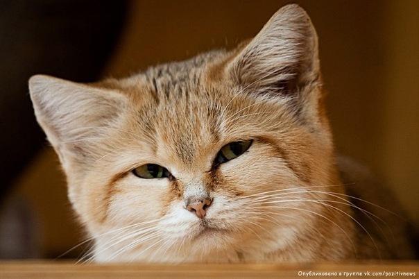 Котэ Кот скептический Барханный кот