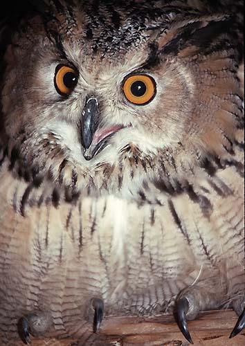 Красивые картинки Живность сова филин
