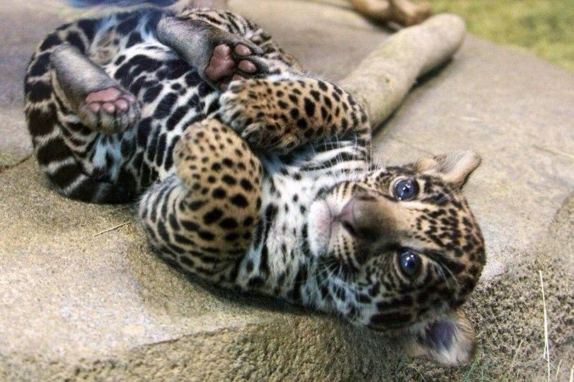 Котэ Милота Большие кошки Ягуар