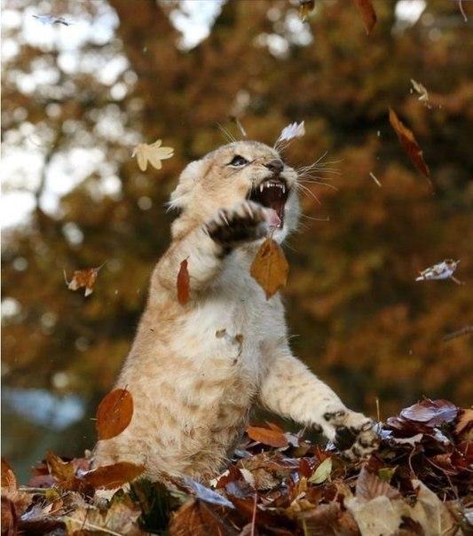 Красивые картинки Милота Большие кошки Лев Осень Листья