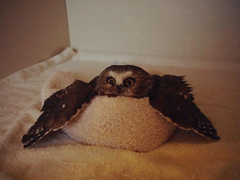 Красивые картинки Живность сова Милота коробка