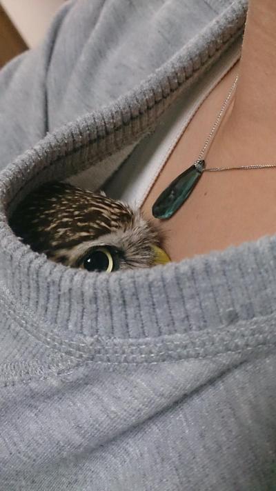 Живность сова Милота