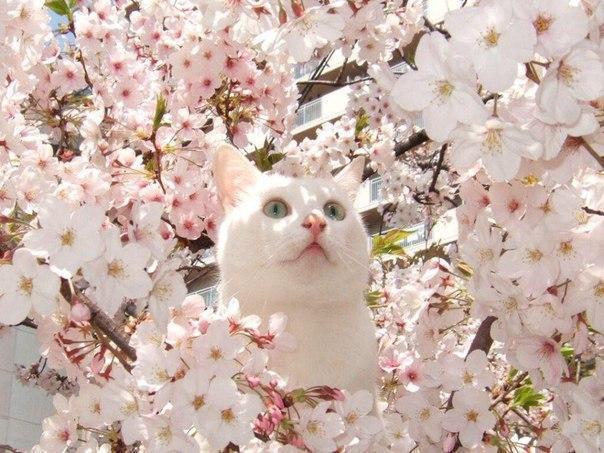 Красивые картинки Живность Котэ кот Милота вишня