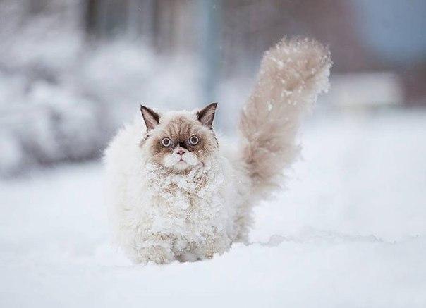 Красивые картинки Живность Котэ кот Зима снег