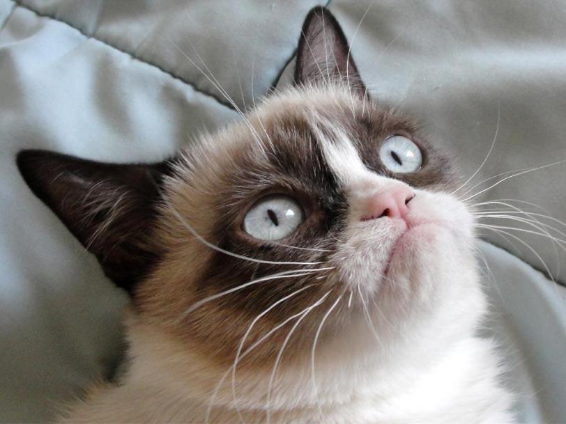 Живность Котэ Фото Grumpy Cat