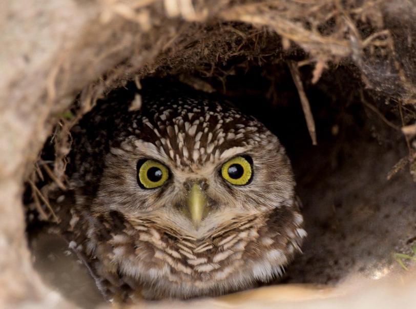 Живность сова Милота норные совы