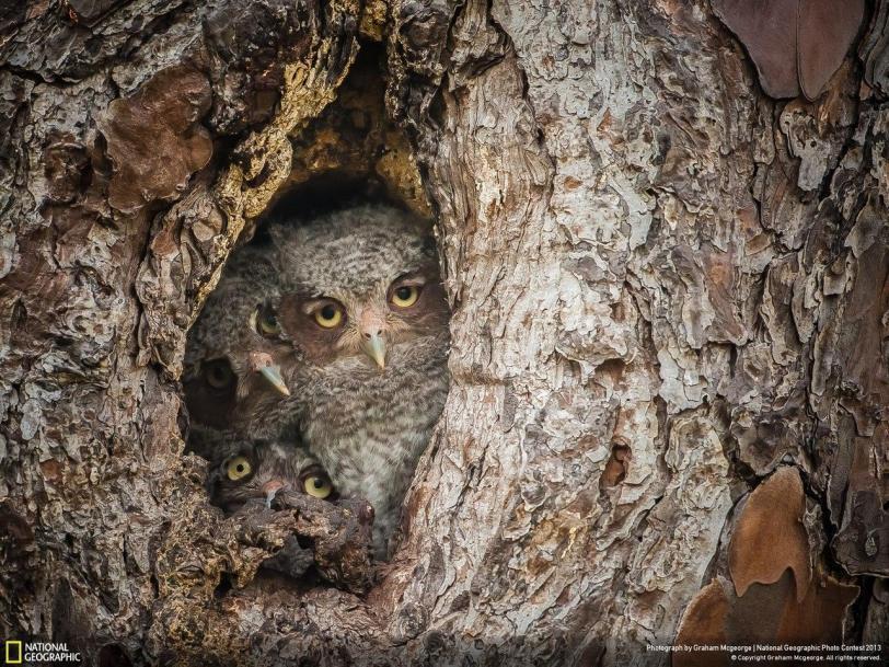 Красивые картинки Живность сова Фото совята маскировка National Geographic