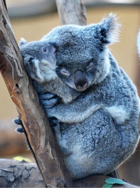 Красивые картинки Живность Милота коала ми-ми-ми