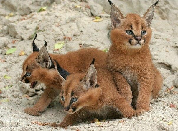 Красивые картинки Живность кот Милота Большие кошки каракал котята