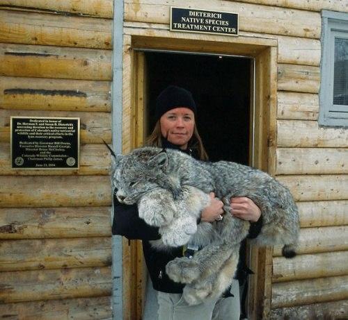 Красивые картинки Живность Котэ кот Милота Большие кошки Рысь