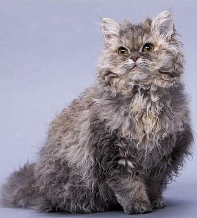Красивые картинки Живность Котэ кот Милота Секирк-рекс