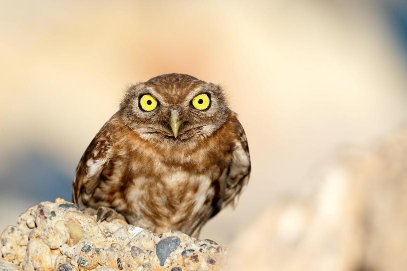 Красивые картинки Живность сова сердитый