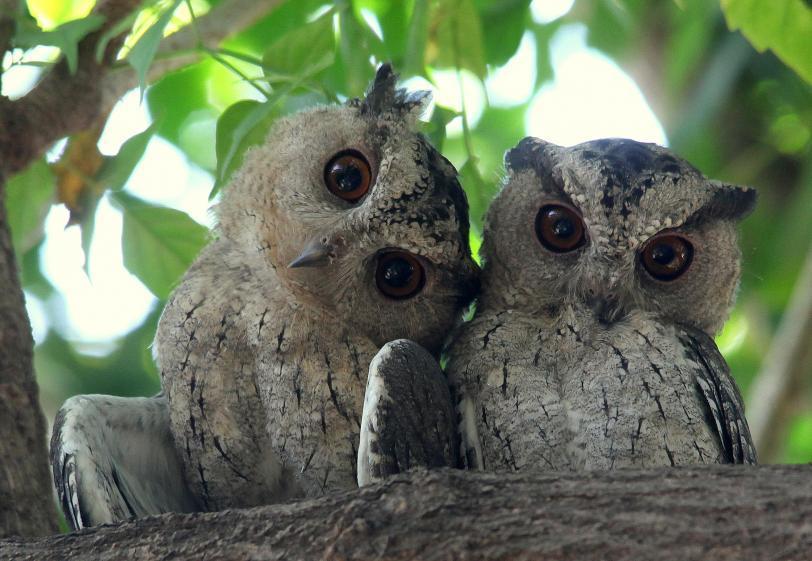 Красивые картинки Живность сова Фото Милота
