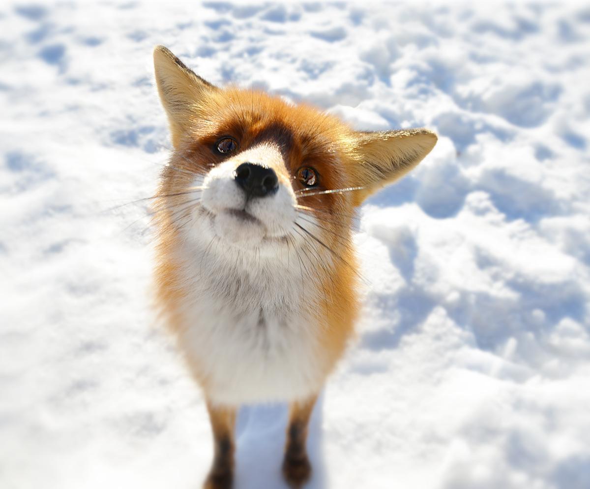 красивая лисичка картинки