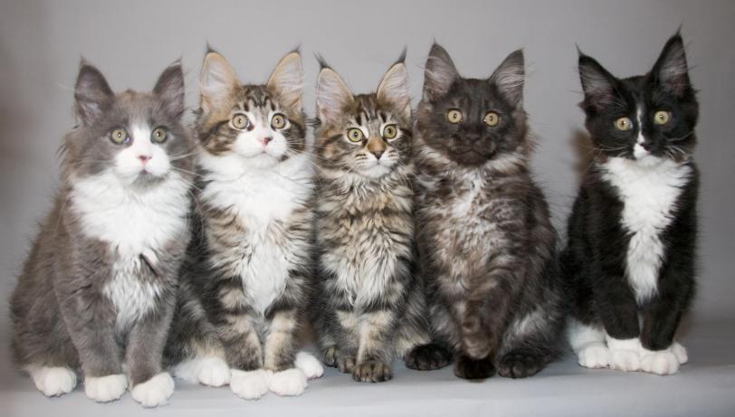 Красивые картинки Живность Котэ Фото Милота котята мейн кун