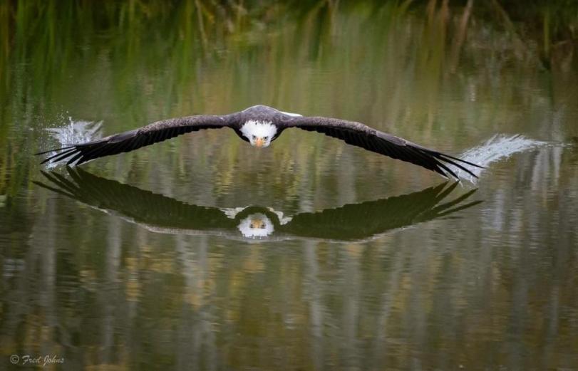 Живность Фото Природа Белоголовый орлан