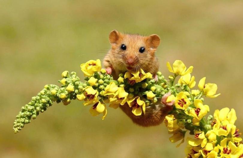 Живность Милота Мышь Полевки