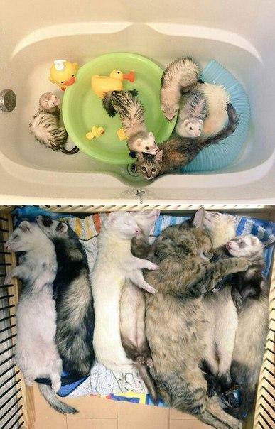 Красивые картинки Живность Котэ кот Милота дружба хорьки