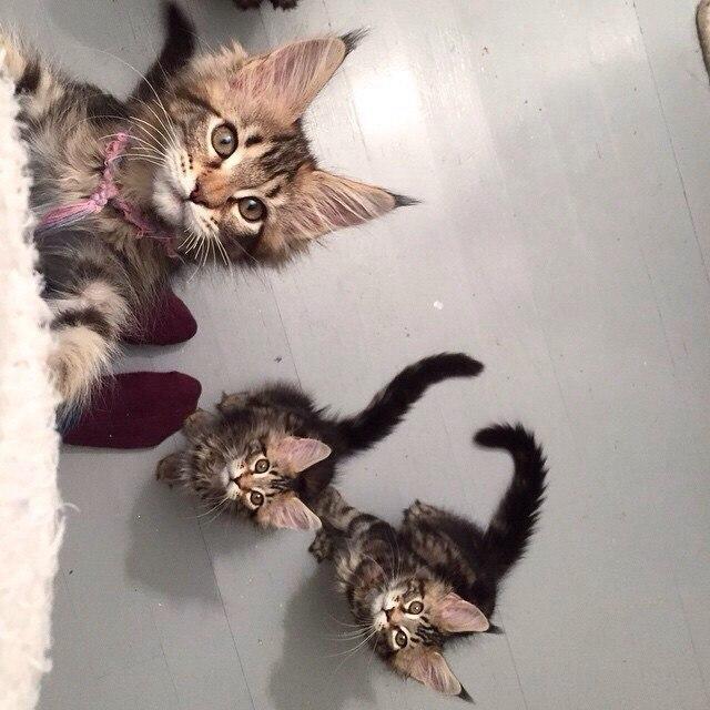 Красивые картинки Живность Котэ кот Милота котята мейн кун