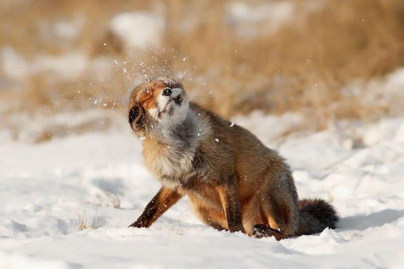 Красивые картинки Лиса Пейзаж снег лисица