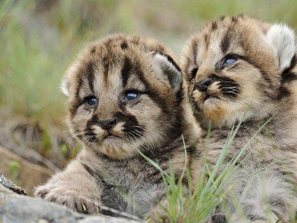 Красивые картинки кот Милота котята гепард