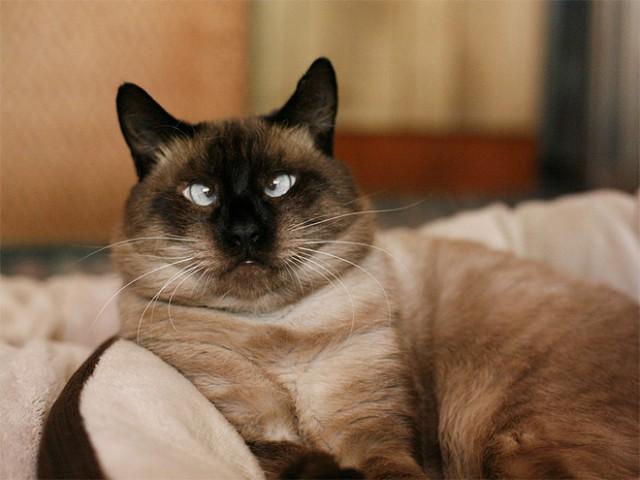 Живность Котэ кот Милота косоглазый кот сиамский кот