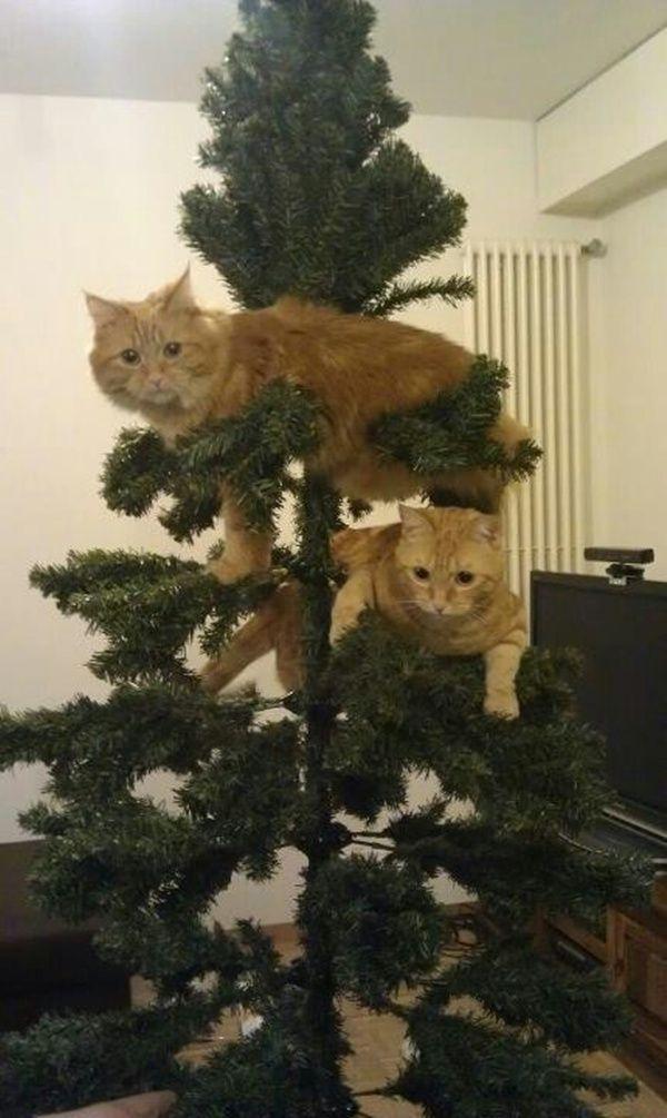 Красивые картинки Живность Котэ кот Милота коты и елки
