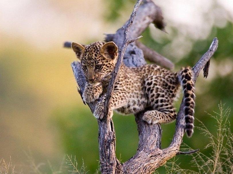 Красивые картинки Живность кот Милота Леопард котёнок