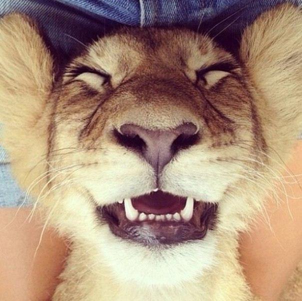 Красивые картинки Живность Милота Лев котёнок