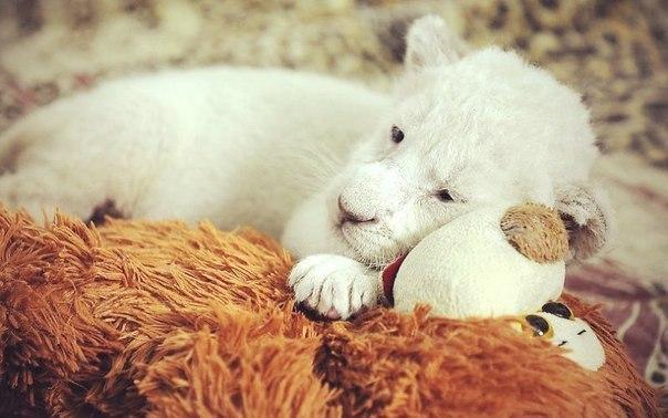 Живность Милота Лев котёнок