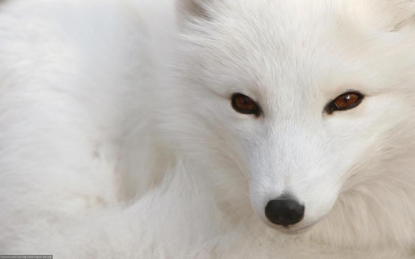 Красивые картинки Обои Живность песец полярная лиса
