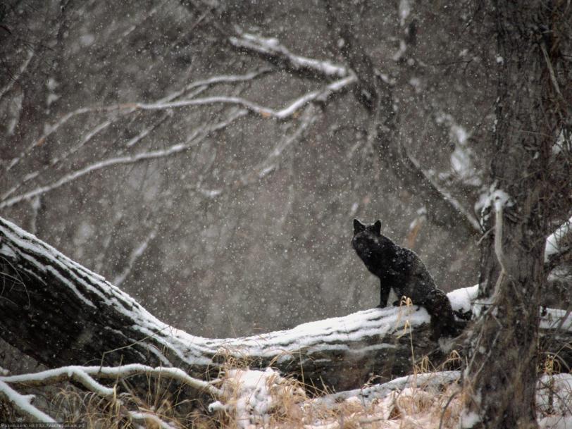 Красивые картинки Живность Милота Лиса Зима снег короткоухая лиса черная лиса
