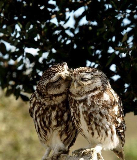 Совушки Милота Красивые картинки Живность птицы птички