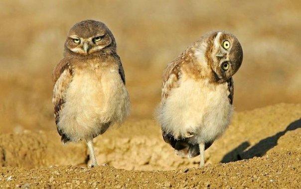 сычики совы Милота Красивые картинки Живность