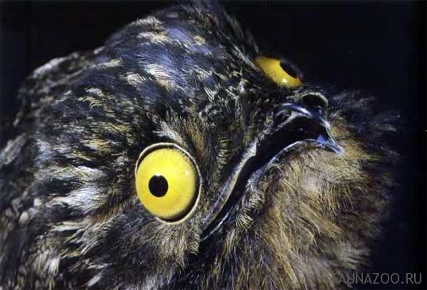 козодой упоротый птичка Живность странненькое