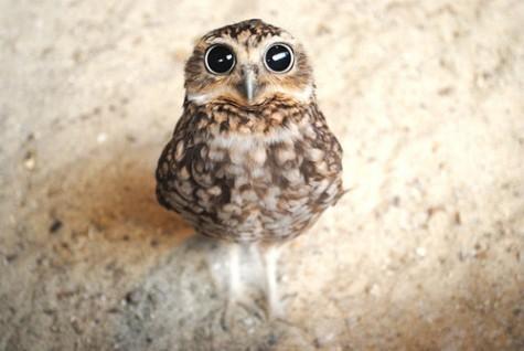 сова милота живность красивые красивые глаза