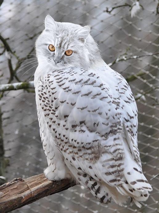 Красивые картинки котосова кот сова милота а почему бы и нет