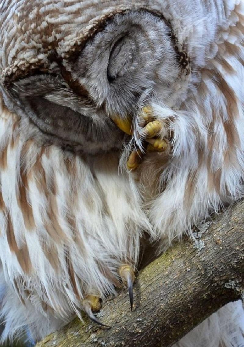 сова милота живность Красивые картинки