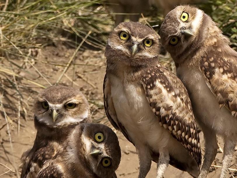 птички Совы милота Живность Красивые картинки