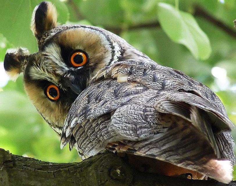 сова милота Живность красивые глаза Красивые картинки