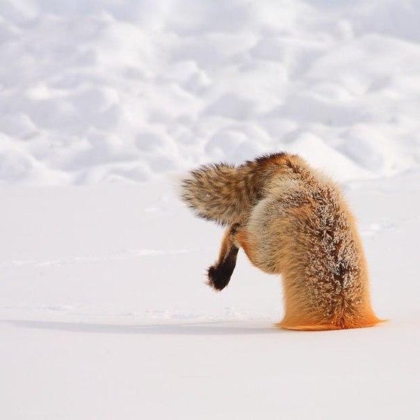 охота лиса рыжая лиса зима снег Милота красивые
