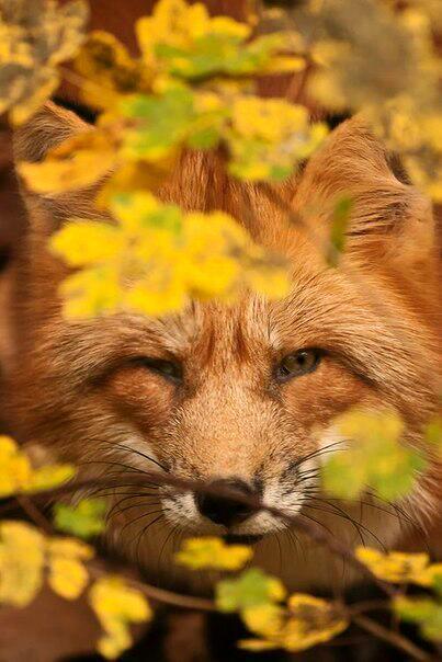 лиса осень милота Красивые картинки живность животное