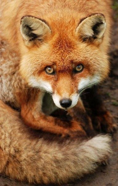 лиса милота Красивые картинки рыжая лиса животное живность